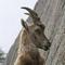 Goat P.
