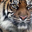 El Tigre Delgado-Guijarro