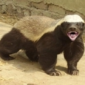 Honey Badger AKA Connor McCutcheon