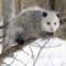 Opossum O.