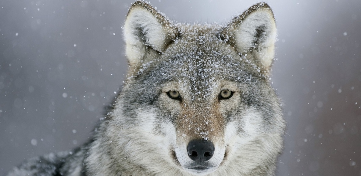 WolfPack Running Club