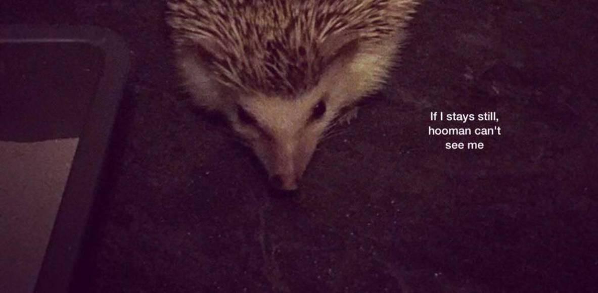 Pygmy Hedgehog Running Club
