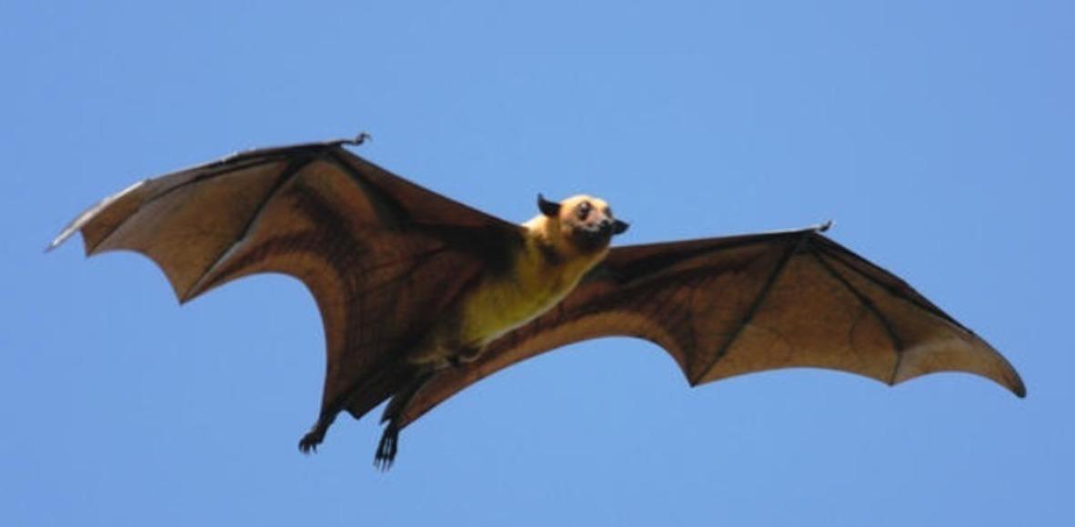 Murciélagos  de los puentes