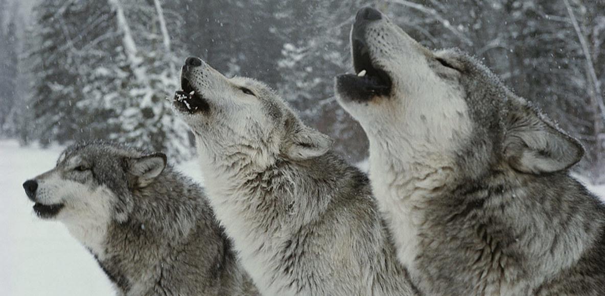 Fell Wolves