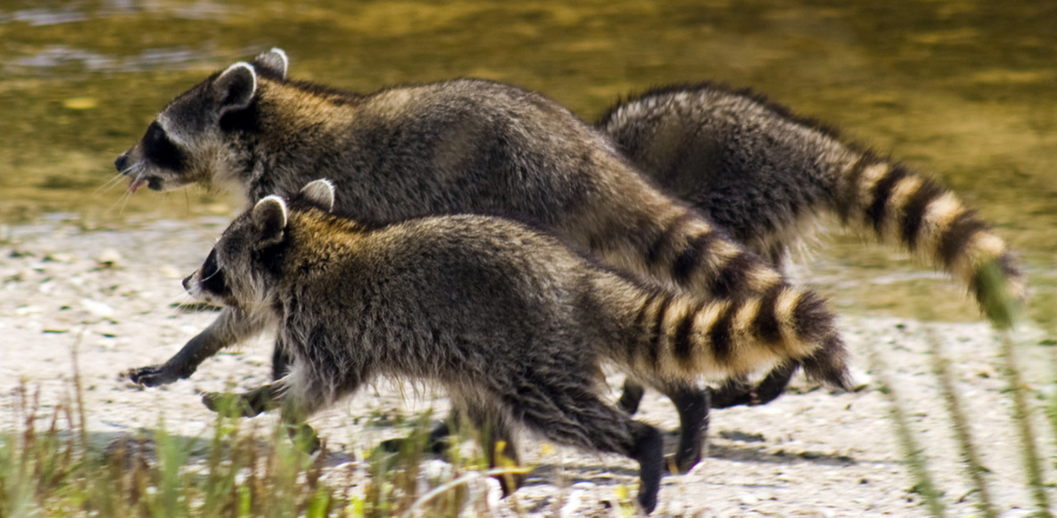 Crazy Raccoons Running