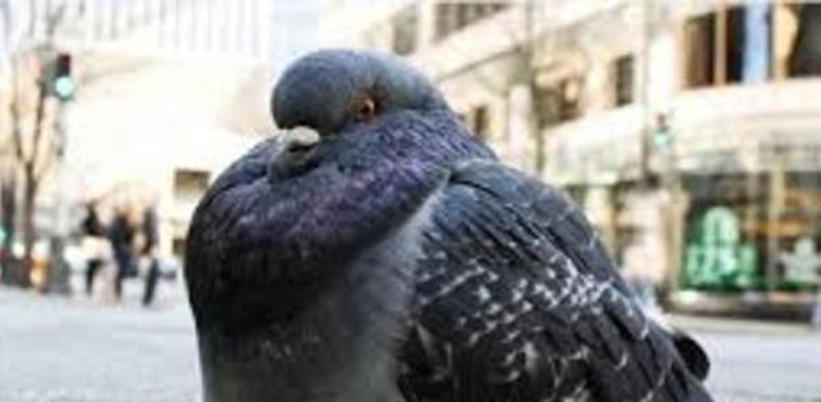 Pipeshop Pigeons