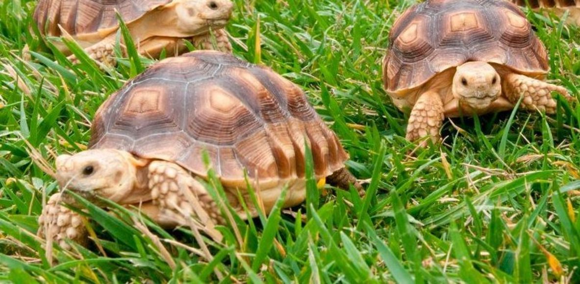Cad Tortugas Running