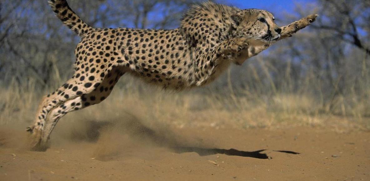 Sashegyi Gepárdok